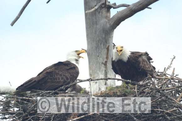 BALD  EAGLE  NEST  00