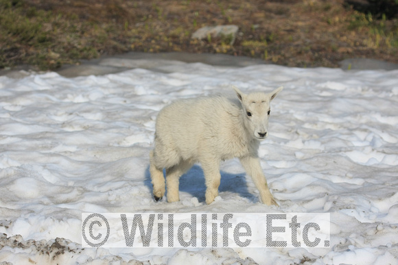 BABY  MOUNTAIN  GOAT  00